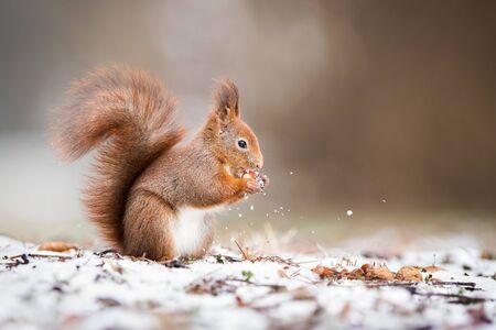 Écureuil roux eurasien sauvage, sciurus vulgaris, tenant une noix dans le parc et debout sur la neige en hiver avec espace de copie. Animal mignon mangeant dans la nature.