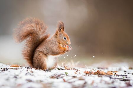 Wild Eurasian red squirrel, sciurus vulgaris, holding a nut in park and standing on snow in wintertime with copy space. Cute animal eating in nature.