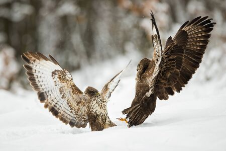 Two common buzzards, buteo buteo, fighting with wings open on snow in winter. Aggressive bird in engaged in combat over territory in Pieniny mountains, Slovakia, Europe.