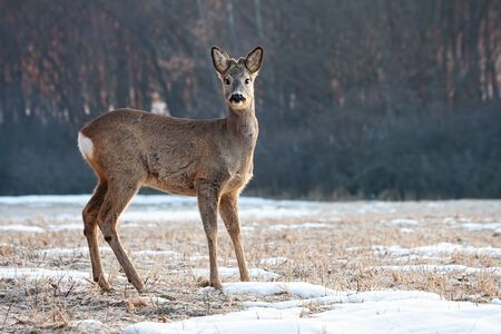 Young roe deer, capreolus capreolus, back with small antlers standing on a glade and looking to camera in winter. Wild mammal in nature with copy space. Stock Photo