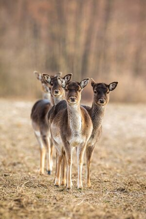Vertical photo of fallow deer, dama dama, herd facing camera with copy space. Group of wild female animals looking on a meadow in wilderness. Interested mammals.