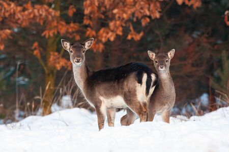 Fallow deer, dama dama, doe and fawn standing close and facing camera. Two wild animals looking alerted in wintertime with snow and frost around. Proximity of mammals in nature.