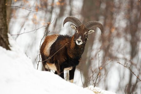 Front view of wild mouflon, ovis musimon, male in wilderness during wintertime. Surprised animal with horns facing camera in forest. Winter wildlife scenery with mammal standing in snow.