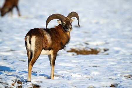 Wild mouflon, ovis orientalis, ram standing on snow in winter looking behind. Brown male animal facing camera on ice in wilderness at sunset. Mammal in nature.