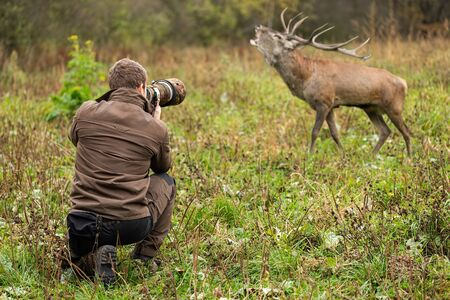 Young male wildlife photographer in brown cloths taking pictures of a red deer, cervus elaphus, stag roaring on a green meadow close to him. Tourist with camera recording wild animal.