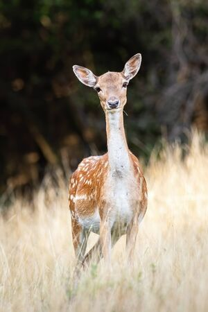 Fallow deer, dama dama, doe with innocent look facing camera on a meadow with dry grass in summer. Female wild animal with big ears listening attentively. Stock Photo