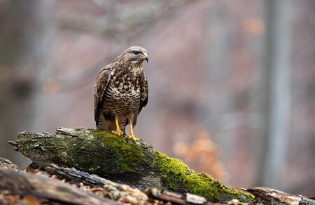 Curious common buzzard sitting on a branch covered with green moss in forest in autumn with copy space. Wild bird of prey with yellow claws watching in nature. 版權商用圖片