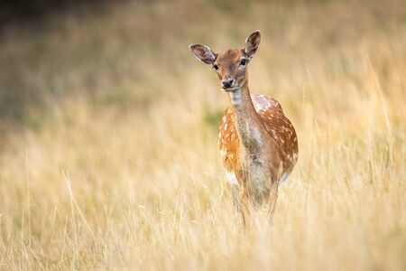 Attentive fallow deer, dama dama, doe watching and listening on a meadow with dry grass in summer with copy space. Low angle front view of a wild animal in nature with blurred background. Stock Photo