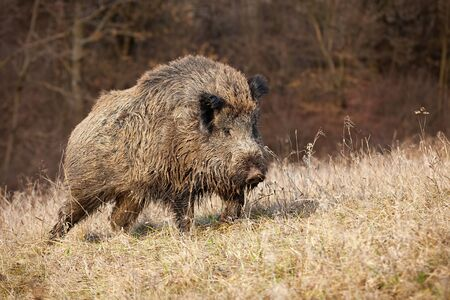 Majestic wild boar, sus scrofa, walking on a meadow with dry grass in sunny autumnal morning. Dangerous animal taking a step in nature. Big omnivore in wilderness.