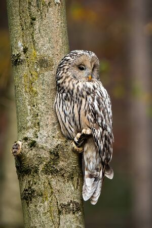 Ural owl, strix uralensis, sitting on a tree in forest with copy space above head. Wild nocturnal bird of prey with grey feather resting on a branch in autumn.