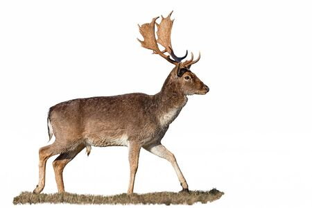 Fallow deer, dama dama, stag with antlers walking on meadow from side view isolated on white background. Cut out wild male mammal with brown fur in nature.