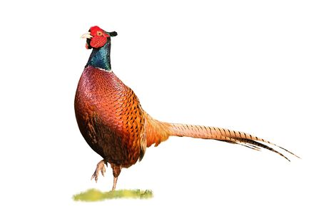 Common ring-necked pheasant, phasianus colchicus, cock walking forward with leg in air isolated on white. Cut out wild animal on a green meadow in nature facing camera.