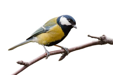 Great tit, parus major, sitting on a twig in garden isolated on white background. Cute little bird with yellow feathers and black head looking into camera from side view. Stock Photo