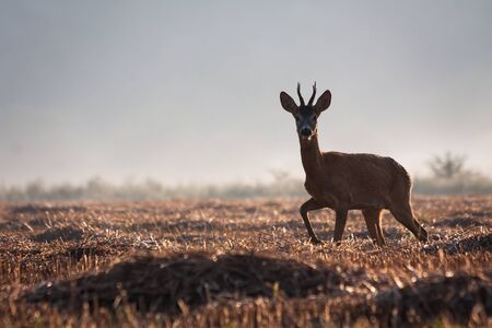 Young roe deer, capreolus capreolus, buck with antlers walking on a agricultural stubble field in summer with mist in background. Wild mammal with fur in nature.