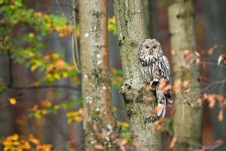 Cute ural owl, strix uralensis, sitting on tree and hiding behind leafs in autumnal forest with copy space. Wild animal camouflaged in nature using mimicry.