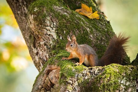 Eurasian red squirrel, sciurus vulgaris, hiding in mossy tree trunk with yellow autumnal leafs. Fluffy little mammal on a branch in forest. Animal wildlife.