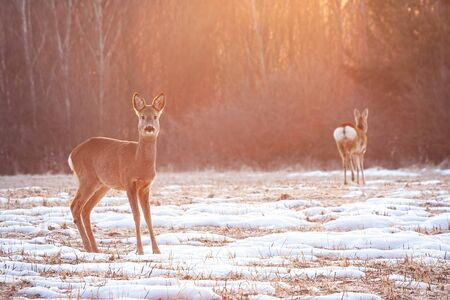 Two roe deer, capreolus capreolus, on a meadow early in the morning with sun rays shining from behind in winter with copy space. Fauna of Slovakia, Europe. Stock Photo