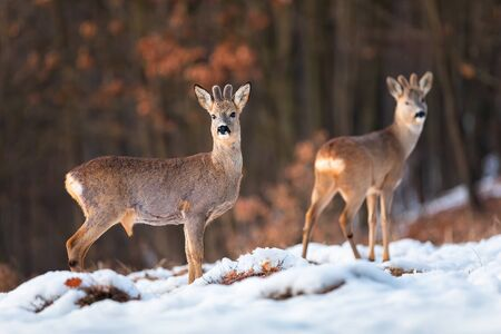 Herd of roe deer, capreolus capreolus, on snow in winter at sunset with forest in background. Two ruminants looking with interest on a clearing in nature. Stock Photo