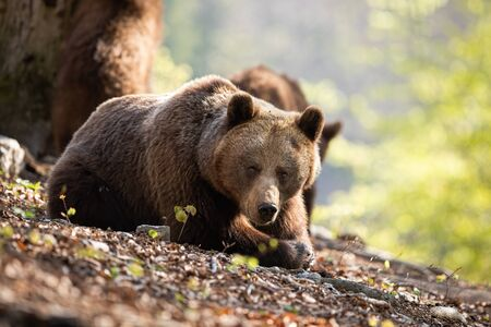 Thoughtul brown bear, ursus arctos, relaxing in the middle of the forest covered with foliage. Massive predator looking sadly into the camera with bear cubs in the background.