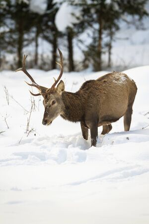 Hungry red deer, cervus elaphus, stag looking for food with head down while standing in deep snow in winter forest. Wild animal in Carpathians mountains, Slovakia, Europe.