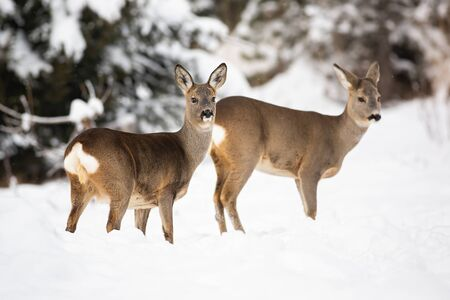 Two shy roe deer, capreolus capreolus showing their cute white tails while wading through the snow. Forest mammals observing carefully the surroundings in winter. Concept of sociability. Stock Photo