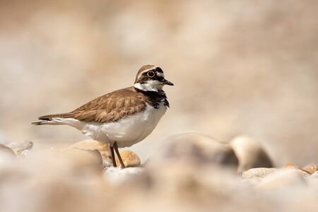 Little ringed plover, charadrius dubius, standing on a rocky beach near river in summer at sunlight. Cute wading bird with yellow ring around eye in nature. Stock Photo