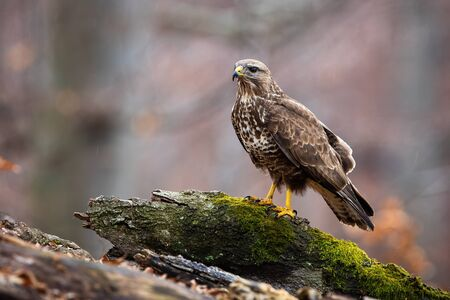 Wild common buzzard, buteo buteo, on a tree stump in nature with copy space. Side view of a fierce predatory bird in forest with blurred trees in background.