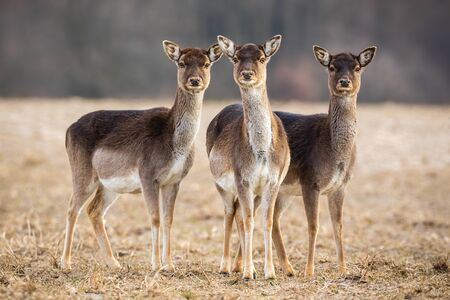 Three fallow deer, dama dama, hinds on a meadow looking attentively. Wild mammals with brown fur, big ears and eyes standing close together in nature. Stock Photo