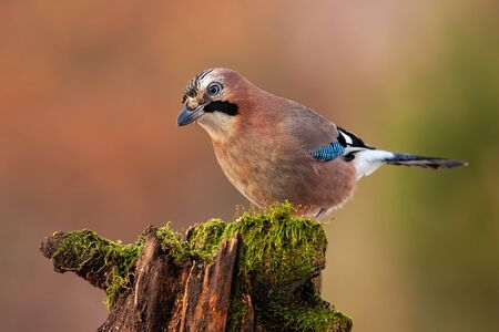 Eurasian jay, garrulus glandarius, looking and sitting on a trunk in autumnal nature with blurred orange background. Passerine bird perched in wilderness. Stock Photo