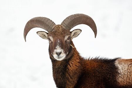 Close-up of curious young mouflon, ovis musimon, looking to camera in wintertime with snow in background. Horizontal portrait of wild mammal with curved horns in cold weather.