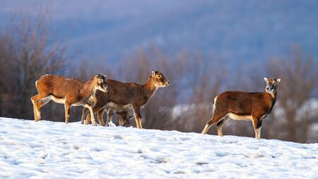 Herd of wild mouflons, ovis musimon, walking together on snow covered field in winter. Group of animals migrating united together in cold weather in nature at sunset. Stock Photo