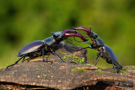Majestic stag beetles, lucanus cervus, standing against each other ready to fight with their mandibles or horns. Two large insect males engaged in conflict
