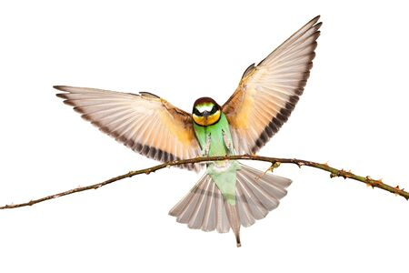European bee-eater, merops apiaster, landing on a twig with wings spread wide isolated on white. Multicolored wild bird with green, yellow and orange feathers flying in the air cut out on blank. 版權商用圖片