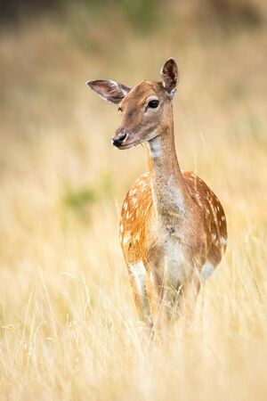 Portrait of a cute fallow deer, dama dama, doe observing and listening with ears on a meadow with dry grass in autumn. Vertical close-up portrait of a wild animal in nature.