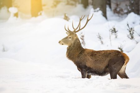 Red deer, cervus elaphus, stag standing in deep snow in the morning while sun is raising in forest. Natural wildlife scenery with wild mammal looking aside with copy space.