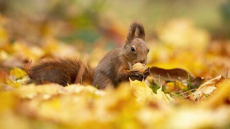 Kleines rotes Eichhörnchen, Sciurus vulgaris, die Nuss beißen und die Umgebung beobachten. Erschrockenes Tier im Park. Nettes Nagetier mit Essen in den Händen während der bunten Herbstsaison. Standard-Bild