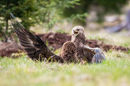 Two lesser spotted eagles, clanga pomarina, fighting over territory in summer on a meadow in mountains. Wild birds in conflict. Animal wildlife scenery from nature. Фото со стока