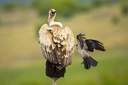 Griffon vulture, gyps fulvus, sitting on a bough and being attacked by a crow in summer nature. Wild scavenger bird defending position with blurred green background in wilderness.