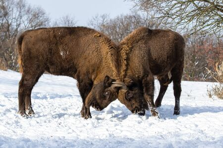 Majestic wood bisons, bison bonasus, engaged in a territorial duel on snow in wintertime. Two wisents standing close together fighting. Energetic wild animals in conflict.