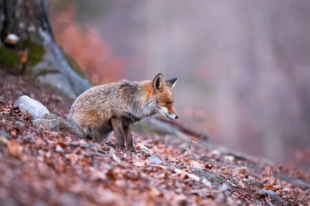 Curious red fox, vulpes vulpes, sitting on the leaves and watching every movement in the surroundings. Beast with puffy coat being on alert. Wild instinctive animal focused on its prey.