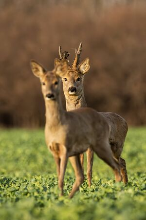 Roe deer, capreolus capreolus, couple at sunset in spring. Male and female wild animals in nature. Two alerted deer. Buck and doe. Stockfoto