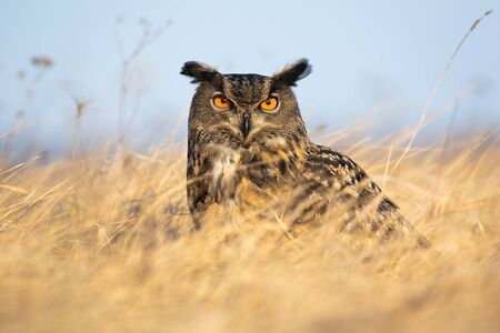 Fierce european eagle owl, bubo bubo, looking into camera intensely with orange eyes. Wild bird of prey sitting on a grassy meadow at sunrise in autumn.