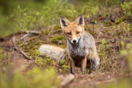 Adult red fox, vulpes vulpes, looking through green vegetation in summer nature. Mammal with orange fur and intense sight staring into camera in wilderness.