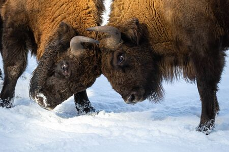 Strong wood bisons, bison bonasus, fighting on snow and pushing against each other with horns in a close-up shot. Wild mammal with long brown fur and massive bodies struggling.
