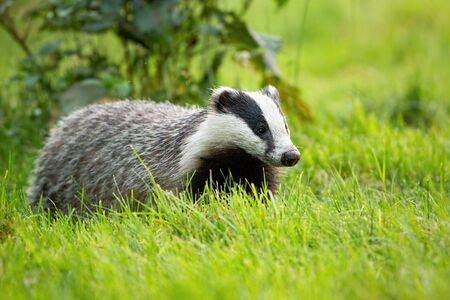 Cute european badger, meles meles, looking with small black eyes on a green grass in spring. Fluffy badger with black and white stripes on face walking through meadow.
