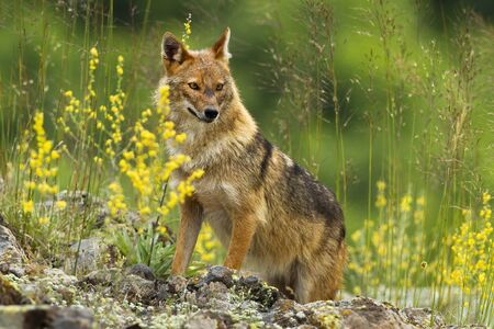 Shy golden jackal, canis aureus, looking away on a hot summer day. Cute animal wildlife standing on rocks hidden in tall green vegetation with yellow flowers in horizontal composition.