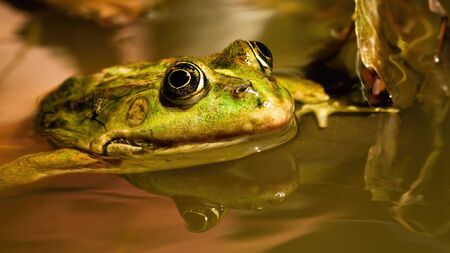 Head of edible frog, pelophylax esculentus, peaking out of water inside pond in springtime. Green wild animal swimming in wet natural environment. Animal wildlife in wilderness.