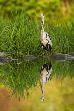 Patient grey heron, ardea cinerea, hunting in a river with its reflection mirrored on water level. Wild bird standing on a riverbank in summer with copy space.