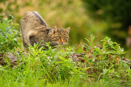 Elegant european wildcat, felis silvestris, hunting in summer hidden in green vegetation. Curious mammal hunter watching intensely. Concept of pursuit in animal kingdom