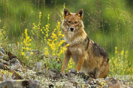 Curious golden jackal, canis aureus, standing on rocks and looking to camera in summer. Surprised wild animal in mountains. Horizontal composition of mammal in hills with copy space